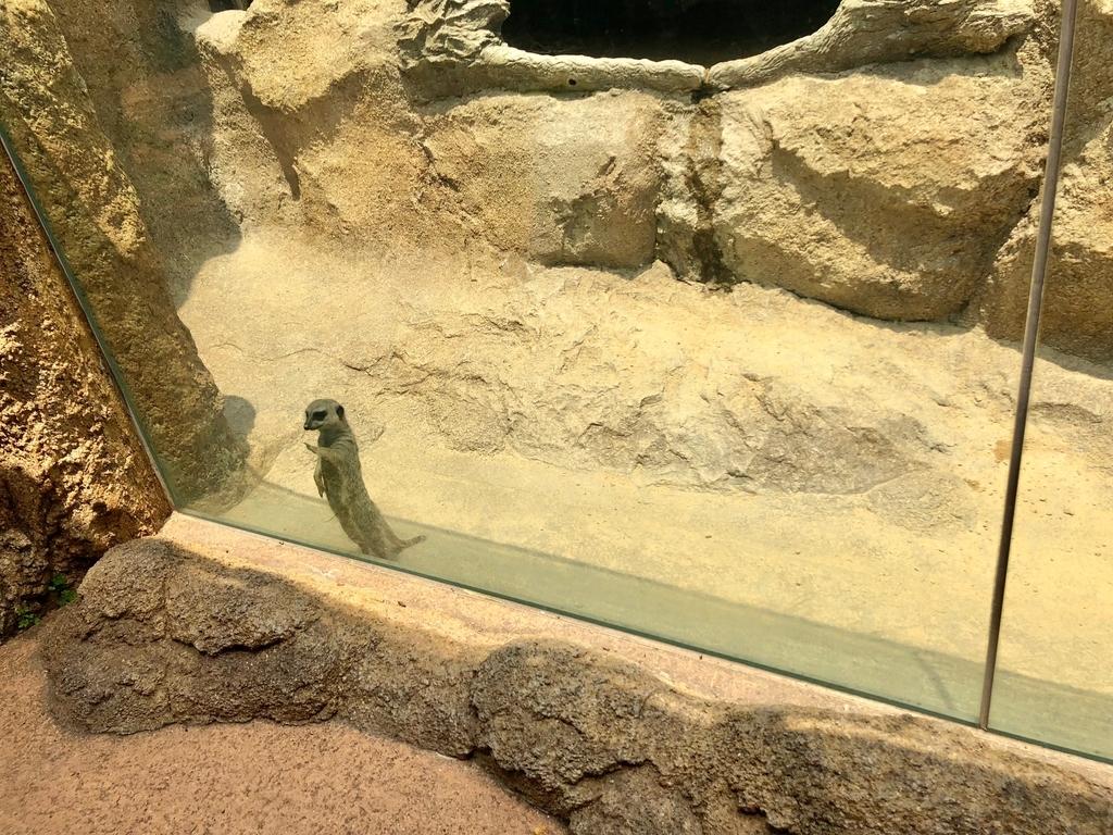 山口県宇部市「ときわ動物園」アフリカの丘陵 マダガスカルゾーン 「ミーアキャット」