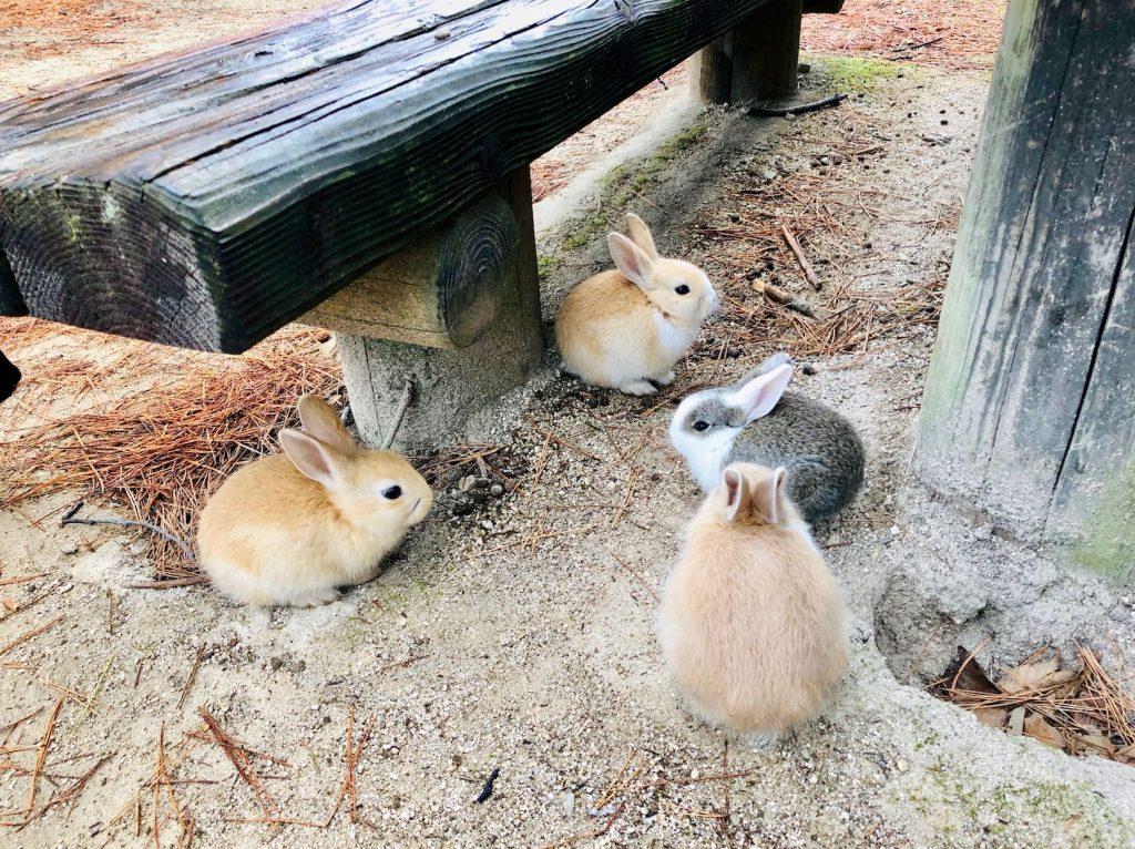 2019年1月の大久野島(うさぎ島)ふっくらうさぎ団子