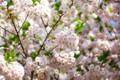 [桜][神宮]