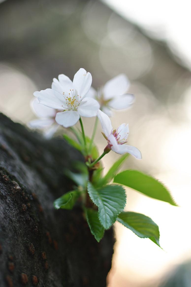 [桜][四ッ谷]