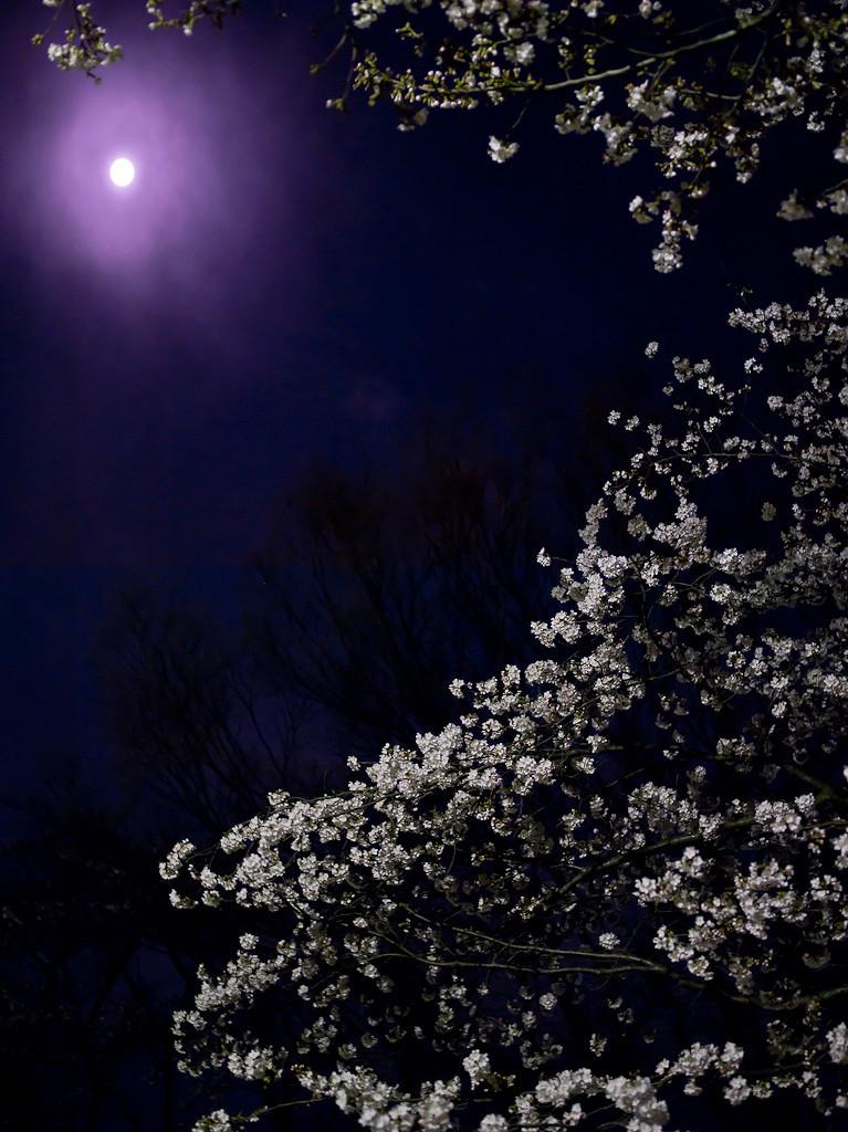 [桜][moon]