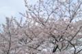 [桜][ボカ見]
