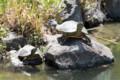 [東武動物公園][カメ] (34) リスザルの島 カメ ( トリミング )