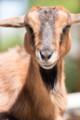 [東武動物公園][ヤギ] (8) ふれあい動物の森 ヤギ