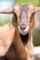 (8) ふれあい動物の森 ヤギ