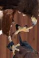 [東武動物公園][タカ] (8) ふれあい動物の森 ハリスホーク 脚部 ( 等倍切り出し )