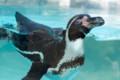 [東武動物公園][ペンギン] (7) ペンギンの大地 フンボルトペンギン ( トリミング )
