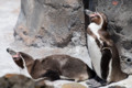 [東武動物公園][ペンギン] (7) ペンギンの大地 フンボルトペンギン