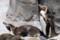 (7) ペンギンの大地 フンボルトペンギン
