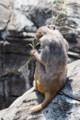 [東武動物公園][サル] (6) サル山 アカゲザル