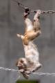 [東武動物公園][サル] (6) サル山 アカゲザル ( トリミング )
