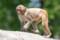 (6) サル山 アカゲザル ( トリミング )