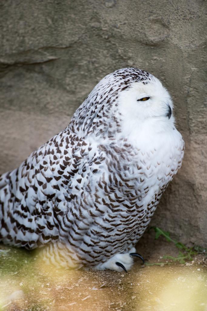 (4) 猛禽類 シロフクロウ