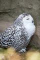 [東武動物公園][フクロウ] (4) 猛禽類 シロフクロウ
