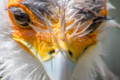 [東武動物公園][ヘビクイワシ] (4) 猛禽類 ヘビクイワシ 頭部 ( 等倍切り出し )