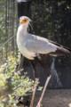 [東武動物公園][ヘビクイワシ] (4) 猛禽類 ヘビクイワシ