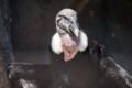 [東武動物公園][コンドル] (4) 猛禽類 アンデスコンドル