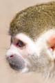 [東武動物公園][リスザル] (24) リスザルの楽園 リスザル 頭部 ( 等倍切り出し )