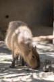 [東武動物公園][カピバラ] (24) リスザルの楽園 カピバラ