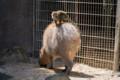 [東武動物公園][カピバラ][リスザル] (24) リスザルの楽園 カピバラ、リスザル