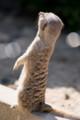 [東武動物公園][ミーアキャット] (27) 小獣舎 ミーアキャット