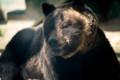 [東武動物公園][ヒグマ] (10) ヒグマの森 ヒグマ