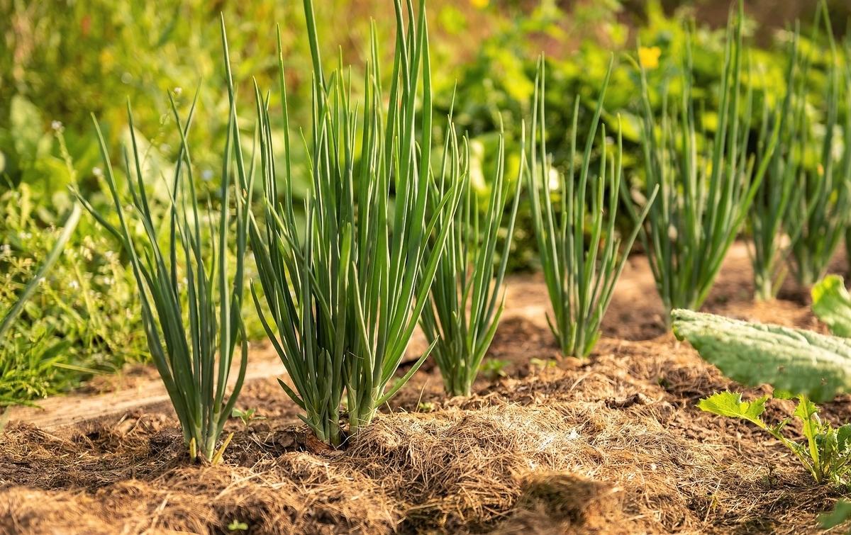 春の玉ねぎ畑