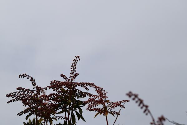 曇り空とアセビ
