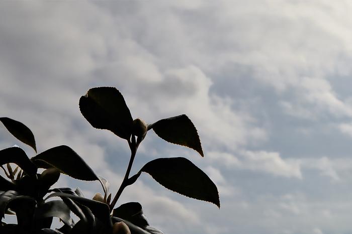 ツバキと曇り空