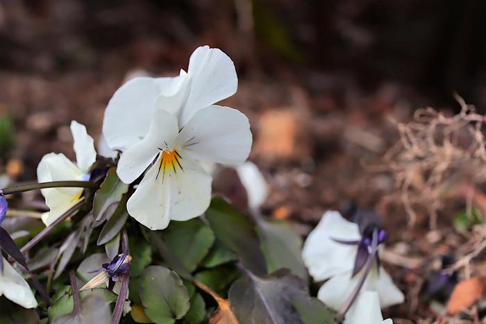 白いビオラ
