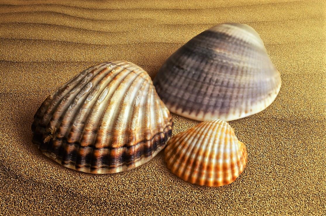 アサリの貝殻