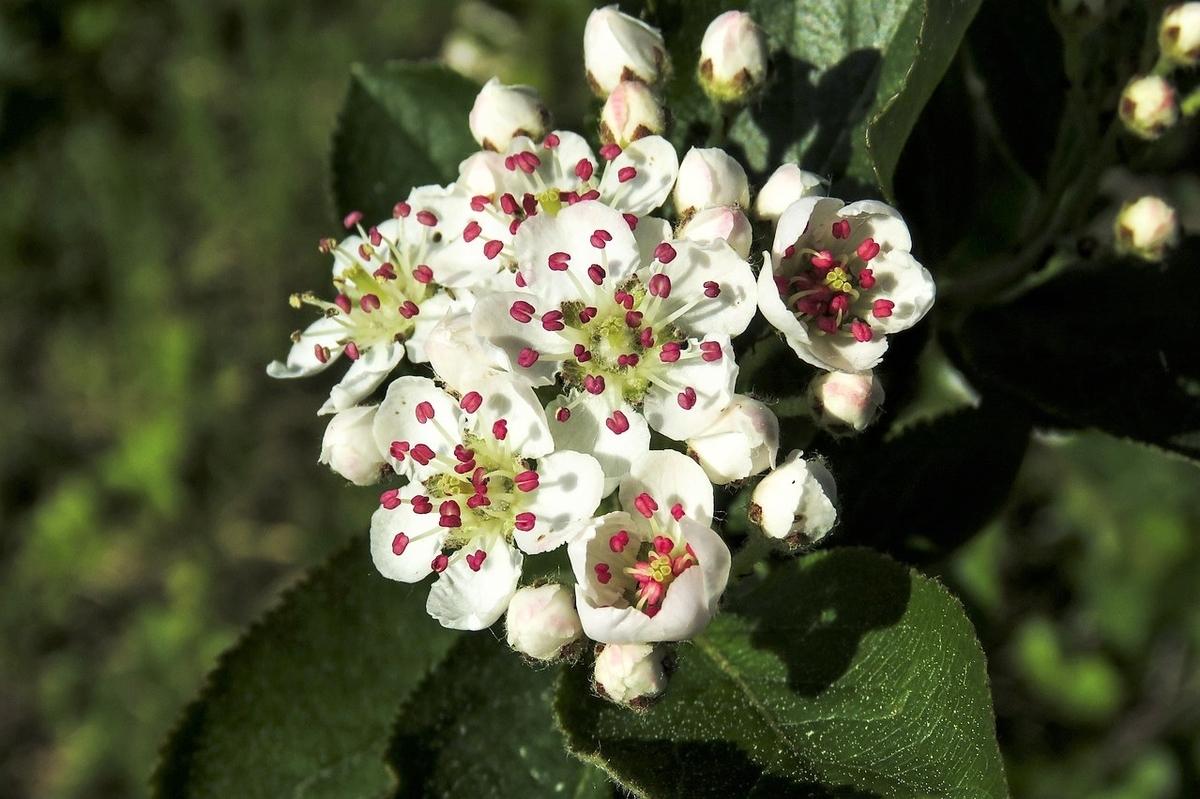 アロニアの花