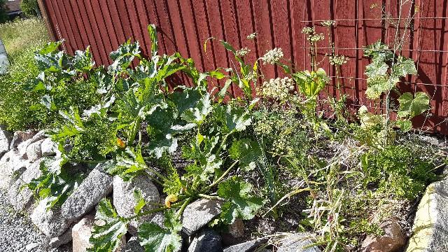 庭で育てているズッキーニの写真