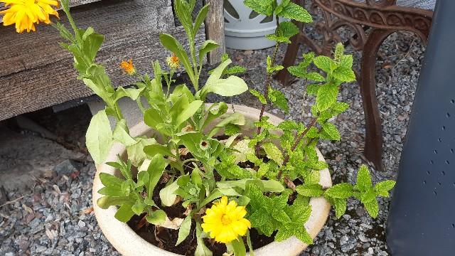 鉢植えで育つミントの画像