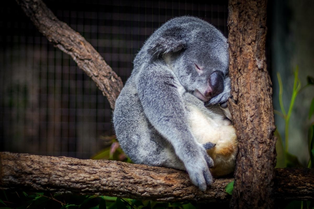 コアラが眠っている画像