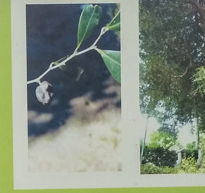 イスノキ ヒョンノキ 虫こぶ 福岡県古賀市薦野 清龍寺境内のイスノキ