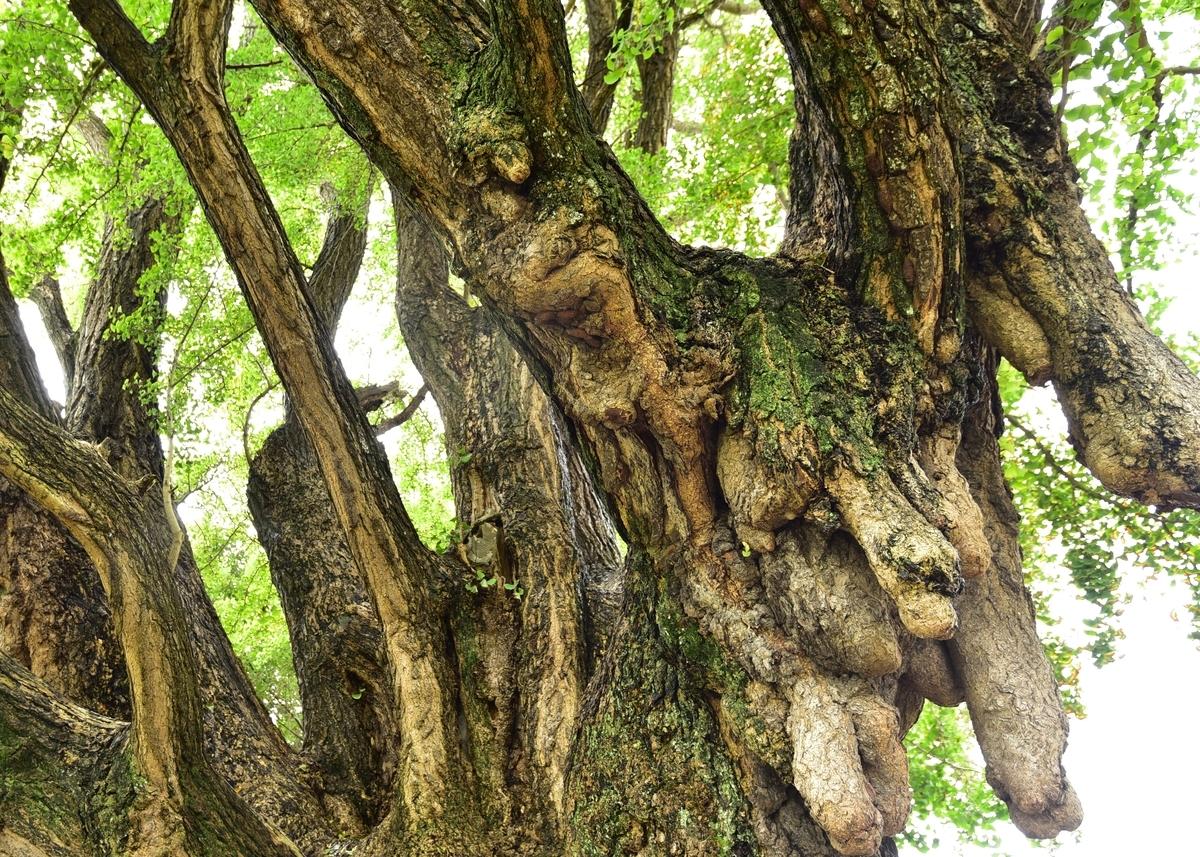 花ノ木堰(はなのきせき)の大公孫樹(おおいちょう) 福岡県直方市植木