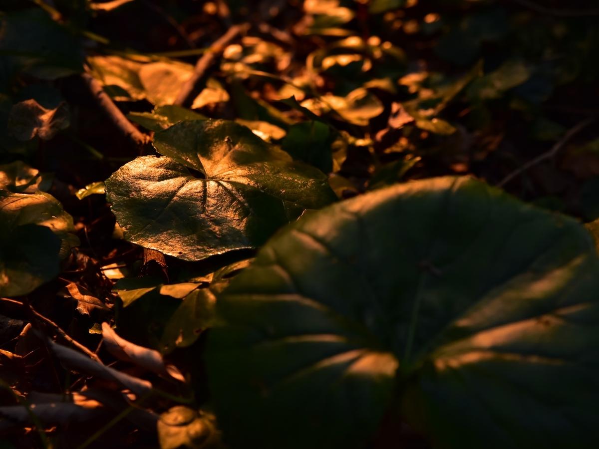 夕陽にてらされ輝くツワブキ 福岡県遠賀郡遠賀町島津 島津丸山古墳