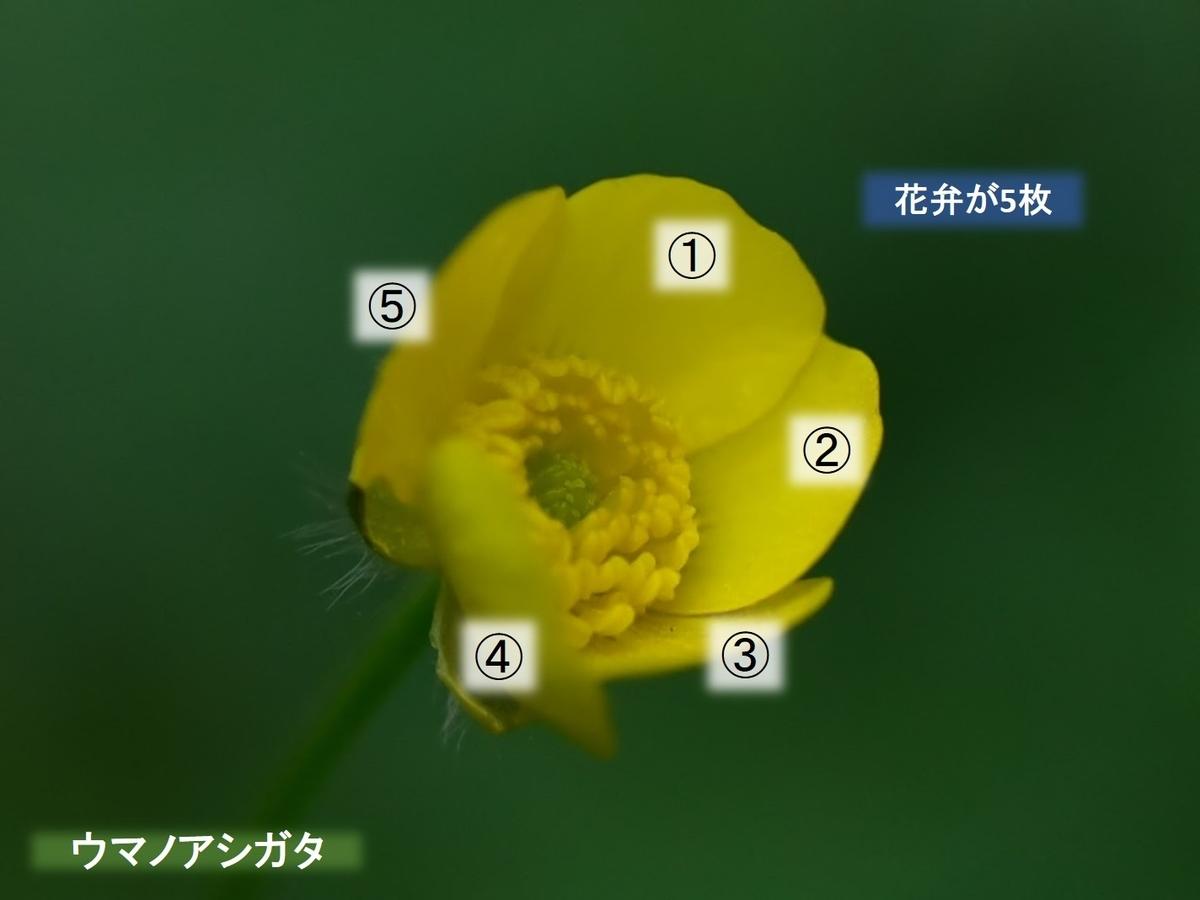 ウマノアシガタ 花弁は5枚 福岡県鞍手郡鞍手町大字中山