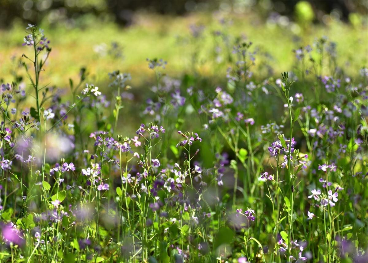 〒811-3513 福岡県宗像市上八 さつき松原内の花畑 オオアラセイトウ