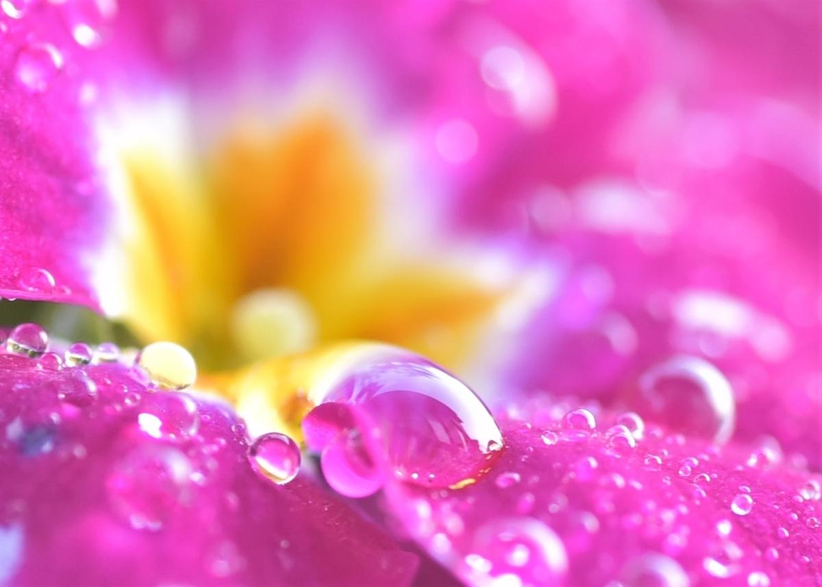 水やりをしたあと花弁についた水滴 ヴィオラ