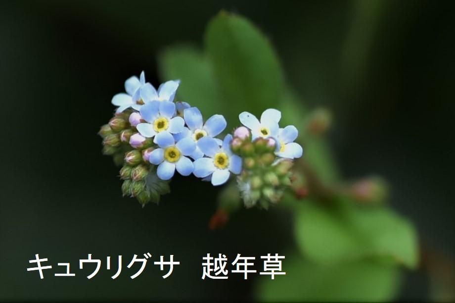 例えばキュウリグサは越年草に分類されている