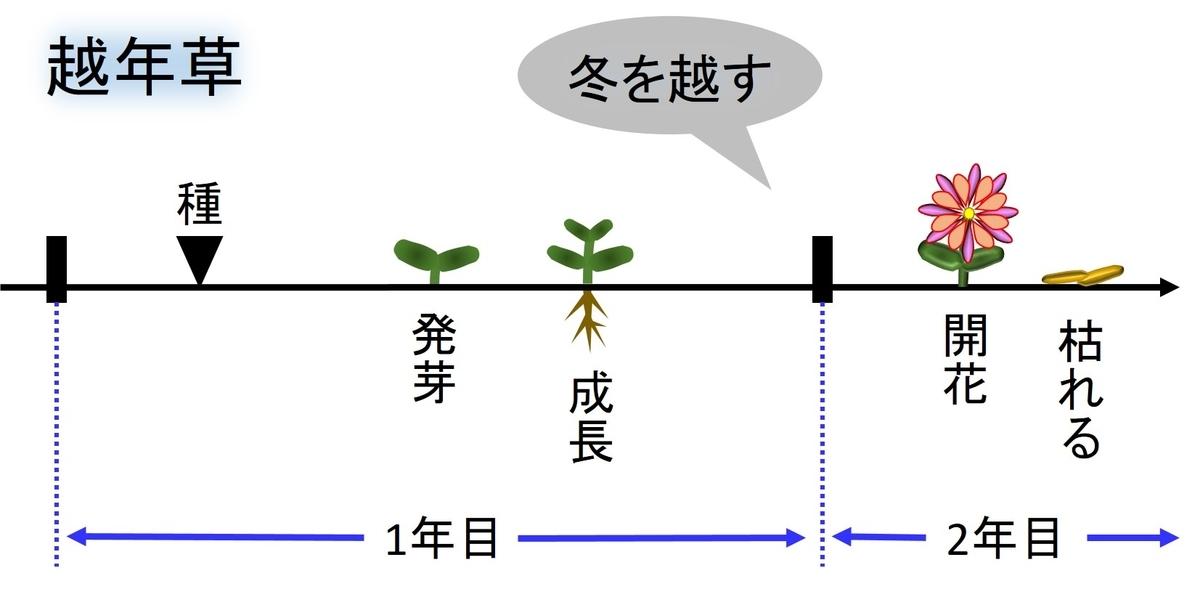 越年草の生活環