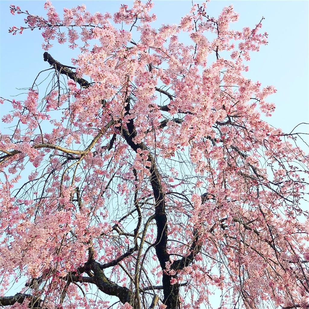 伏見稲荷 桜
