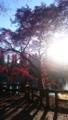 [吉祥寺 井の頭公園 井の] 2015年 井の頭公園の紅葉