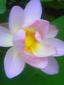 ママンがどっかのお寺で撮った、蓮の花