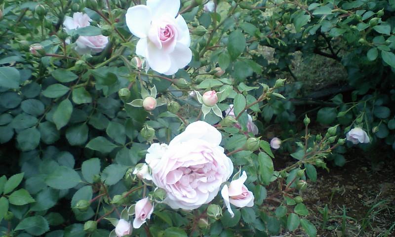 山下公園に咲く横浜市の花・バラ