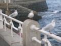 [横浜] 神奈川県の鳥 かもめ