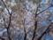 職場の近くで撮った、桜の木@都内某所