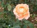 [横浜][バラ]山下公園で撮影したバラ
